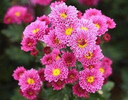 fiori di crisantemi