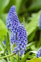 bulbi di fioritura del giacinto di uva foto