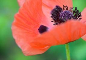 fiore di papavero foto