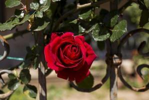 rosa rossa foto
