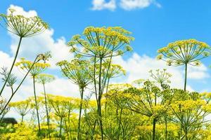 vista dal basso delle erbe fiorite di aneto in giardino foto