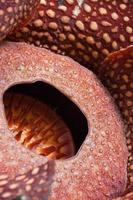 fiore di rafflesia foto
