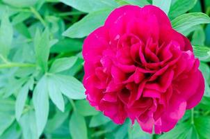 peonia floreale foto