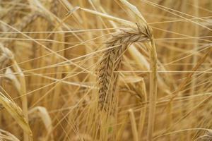 pianta di cereali foto