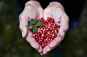 cowberries sulle mani di donna anziana foto
