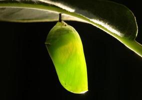 bruco monarca bozzolo foto