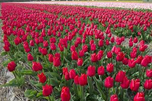 cultura del tulipano