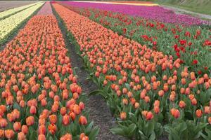 cultura del tulipano foto