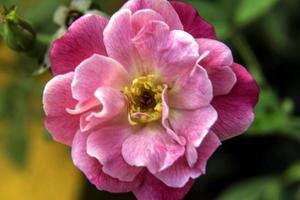 fiore viola foto