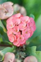 fiore rosa euforbia foto