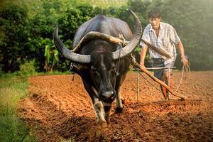 contadino e bufalo nella piantagione di riso foto