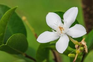 fiore di gardenia