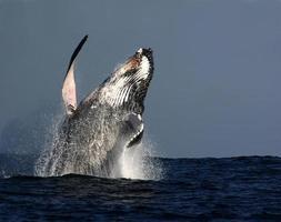 violazione della balena megattera foto
