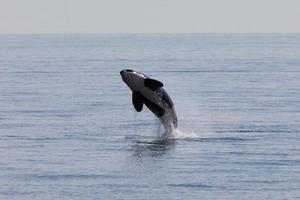 balena assassina foto