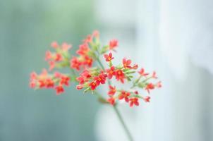 fiore di Kalanchoe foto