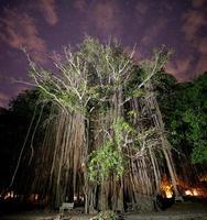 albero di banyan foto