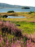 lago con isole galleggianti e fireweed (epilobium angustifolium)