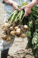 raccolta di patate foto