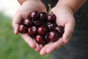 due mani che tengono il mazzo di ciliegie fresche foto