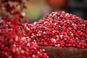 raccolta di mirtilli rossi foto