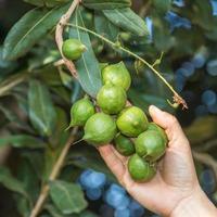 mano della donna che tiene noce di macadamia in naturale foto