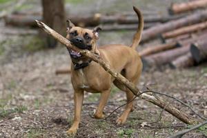 pitbull che trasporta un ramo foto