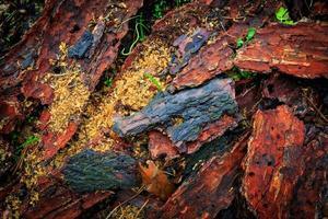 corteccia di pino sfondo foto
