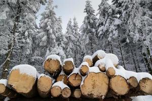 tronchi d'albero nella foresta invernale foto