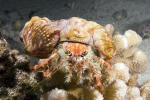 granchio anemone ingioiellato foto