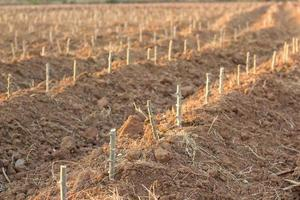 crescita della manioca, agricoltura asiatica foto