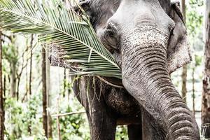elefante asiatico in india.