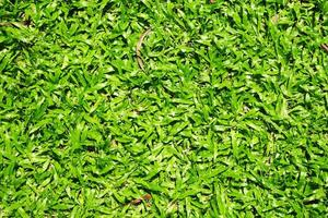 molta erba verde asiatica