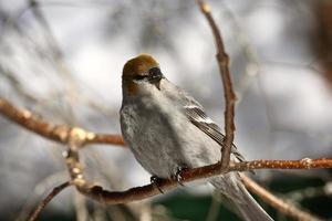 crossbill dalle ali bianche in inverno