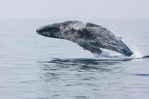 balena di schiena gobba di rottura foto