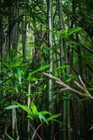 bambù foto