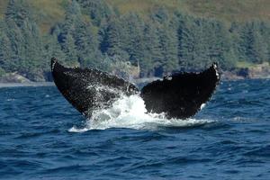 balena di megattera foto