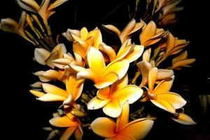 fiore di frangipani nella notte foto