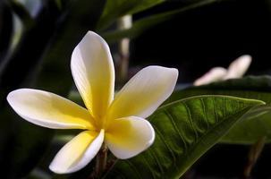 fioritura del frangapani foto