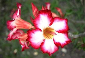 Plumeria fiore rosa e bianco in giardino foto