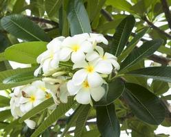 fiore di Leelawadee foto