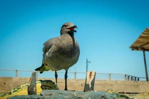 gabbiano nelle isole san cristobal galapagos foto