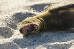 leone marino che riposa sotto il sole, Puerto Baquerizo Moreno, Galapagos foto
