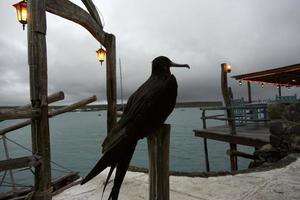 fregata uccello, ecuador, galapagos, santa cruz, porto ayora