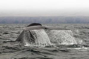 balenottera comune balena blu foto