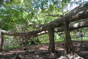 albero di banyan nella foresta pluviale di maui foto