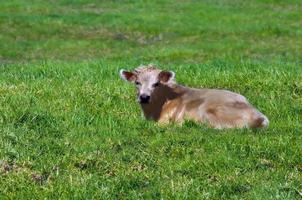vitello charolais sulla grande isola foto