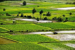 campi di taro nella valle di hanalei foto