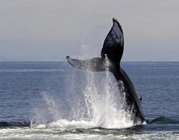 schiaffo coda di balena megattera foto