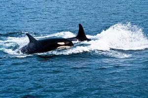 balene di orca foto
