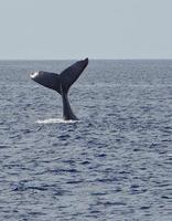 coda di balena megattera estesa alta foto